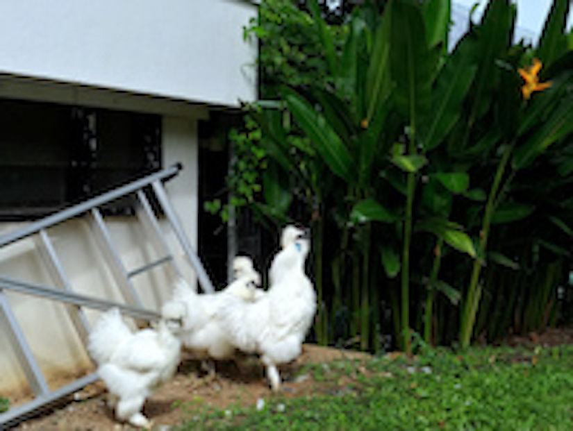 PET SILKIE CHICKENS AT 27 OLIVE RD - EDGEPROP SINGAPORE